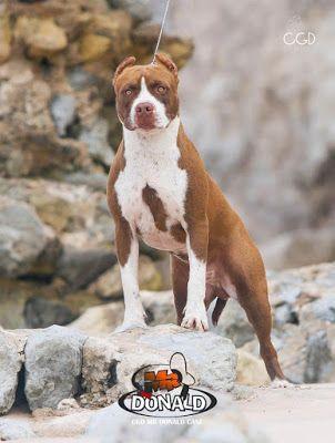 Blog do Pit Bull: Especial: Melhores canis de Pit Bull do Brasil