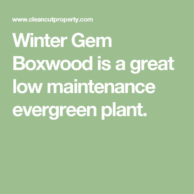1000 ideas about winter gem boxwood on pinterest green for Low maintenance winter plants