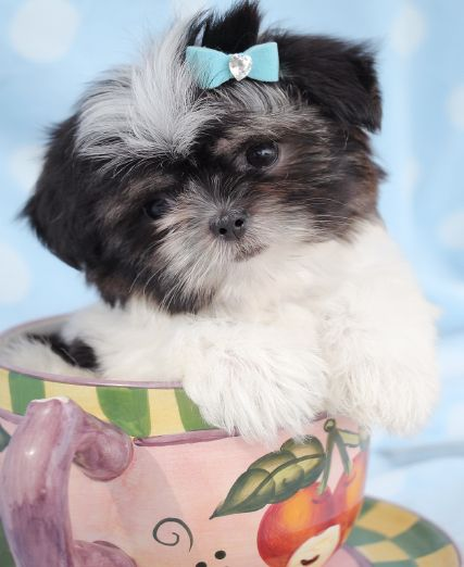 buy shih tzu puppies 31 best shih tzu puppies images on pinterest 2831