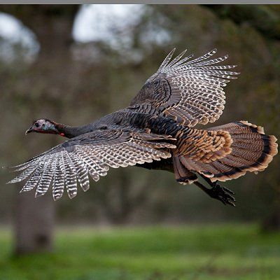 2a) Wild Turkeys keep feeding under the bird feeder this yard, this time I got to see one Flight.
