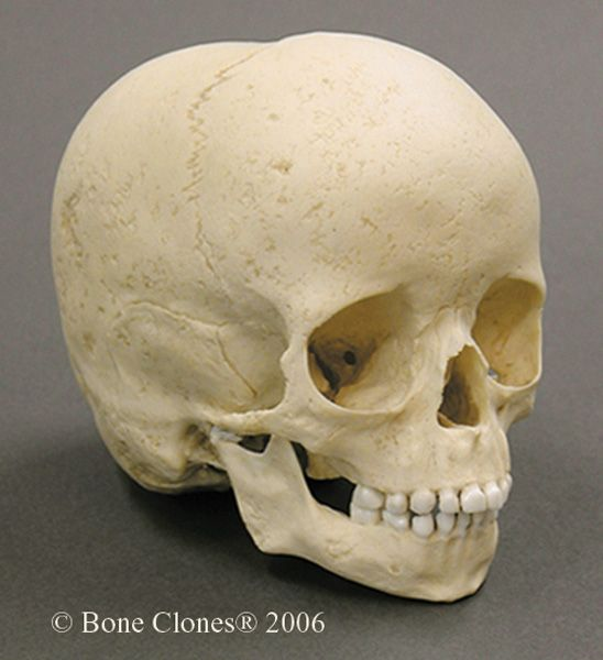 5-year-old archaic human child skull bc-116 | toy art | pinterest, Skeleton