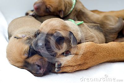 Newborn Rhodesian Ridgeback whelps lying and sleeping onto the paw of their mother. The little puppies are one week of age. It is a purebreed african dog. Image is taken closeup as a fullframe shoot.