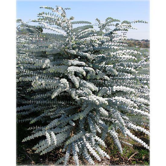 Silver mountain gum Eucalyptus pulverulenta