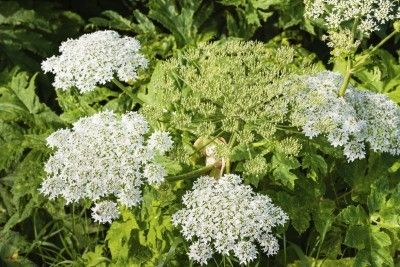 Giant Hogweed Information: Tips For Controlling Giant Hogweed Plants - Giant hogweed is one scary plant. What is giant hogweed? It is a Class A noxious weed and is on several quarantine lists. Learn more about its control and where it grows in this article. Click here for additional information.