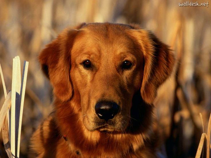 picture perfectDogs Wallpapers, Animal Pictures, Golden Rules, Golden Retrievers, Dogs Apples, Bing Image, Pets N Animal, Future Pets, Cute Dogs