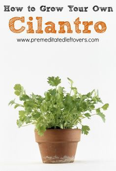 Gardening Tips | How to Grow Cilantro, including how to plant cilantro seedlings, how to grow cilantro in containers, and how to care for and harvest cilantro.