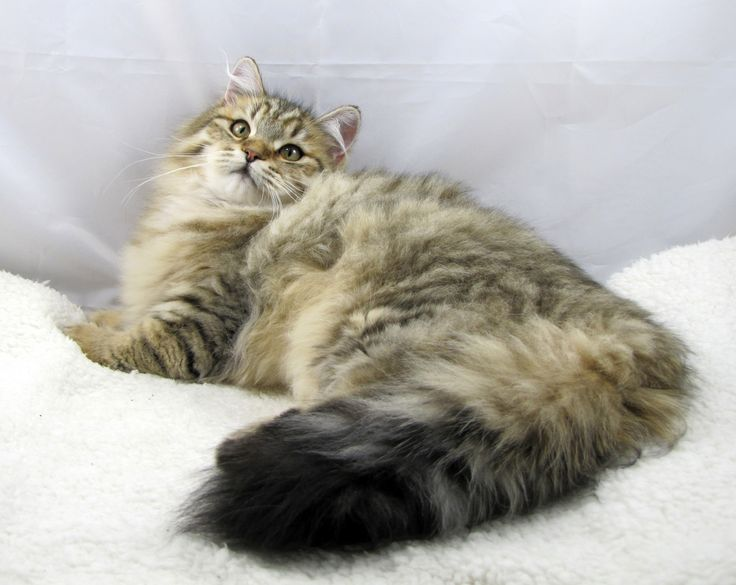Siberian Forest Cat  hereditary diseases of the siberian