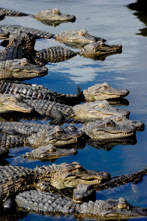 Florida gators.. Bring more tourists, we're hungry! (1) From: 500 Px, please visit