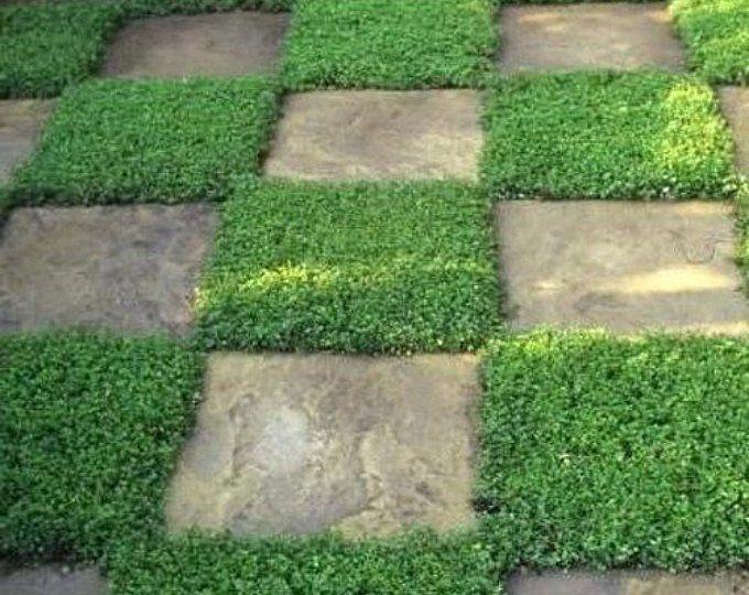 Grow Your Secret Garden Dichondra Repens Seeds