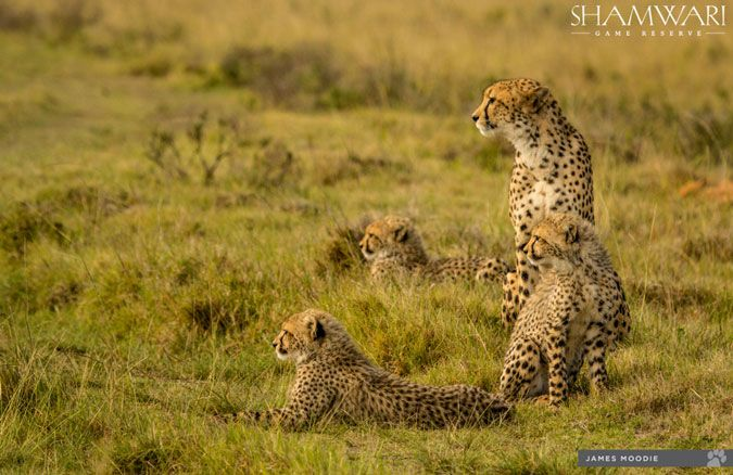 A cheetah family reunion #africa http://buff.ly/2rahHlP?utm_content=bufferd88a5&utm_medium=social&utm_source=pinterest.com&utm_campaign=buffer #grasstracksafaris