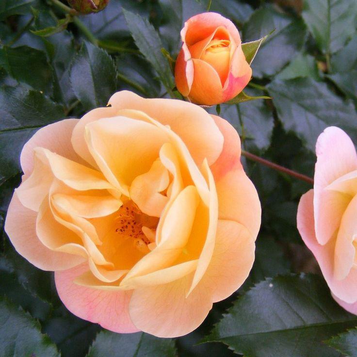 Les variétés de roses sont innombrables http://www.mesarbustes.fr/rosiers.html