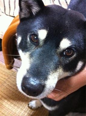 <Animals>ウチの実家のワンコ。いま、柴犬って、なんだかお洒落、と思っているのは僕だけ? 【LEON編集長 前田陽一郎】  http://lexus.jp/cp/10editors/contents/leon/index.html  ※掲載写真の権利及び管理責任は各編集部にあります。LEXUS pinterestに投稿されたコメントは、LEXUSの基準により取り下げる場合があります。