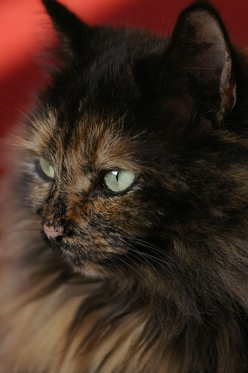 A beautiful tortie
