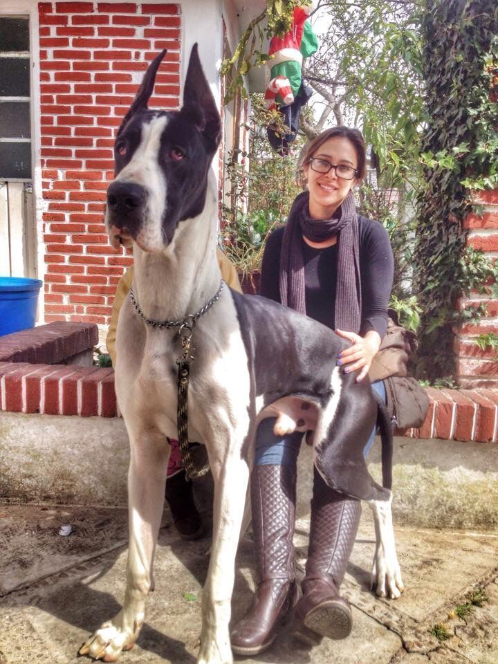 Great Dane Patient And Friendly Great Dane Funny Great Dane