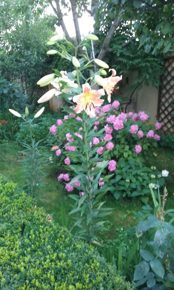 Giant lily and pink hydrangea in June 2015