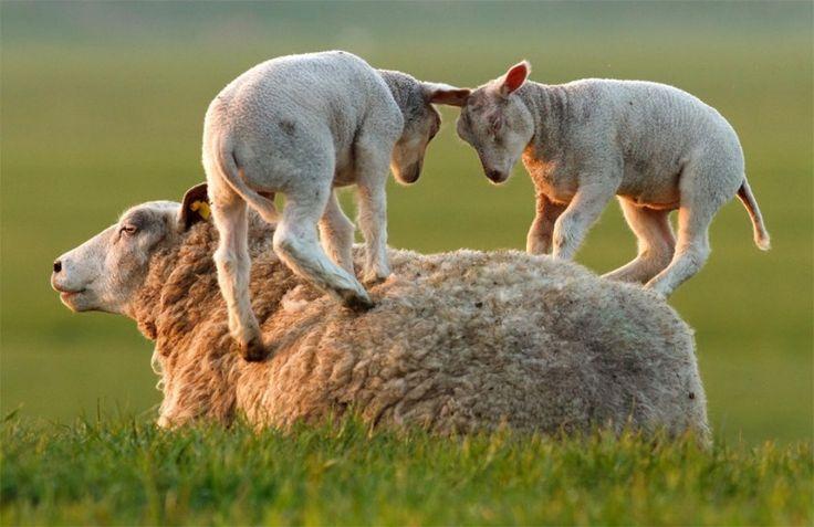 Carneiros brincam com a ovelha mãe. Foto por Roeselien Raimond