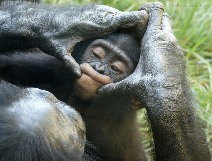 Silly faces! Baby Bell's face being groomed by mother Lisa, San Diego Zoo #bonobo