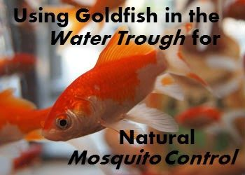 Putting goldfish in the water trough for mosquito control. Nice website with a bunch of other horse-related things, too :)