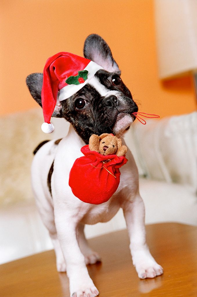 French Bulldog Puppy posing for XMas... Pierre's Modeling Gig The first…and last modeling gig. by TheVintageCabin http://flic.kr/p/7vPKMJ