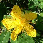 St. John's Wort, a botanical serotonin reuptake inhibitor...: http://twitpic.com/79m54