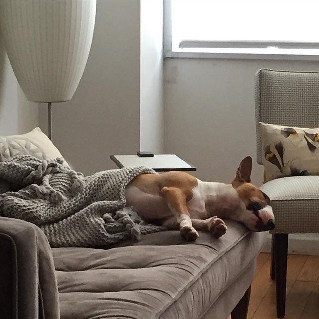How I chill . . . #bullterrier #bullterriersofinstagram #bullterrierlove #darwyn #bullybreed #ebt #greenwichvillage #nyc
