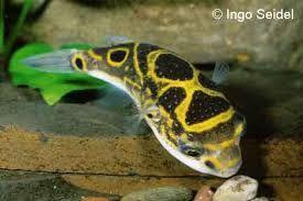 süßwasserfische aquarium - Google-Suche
