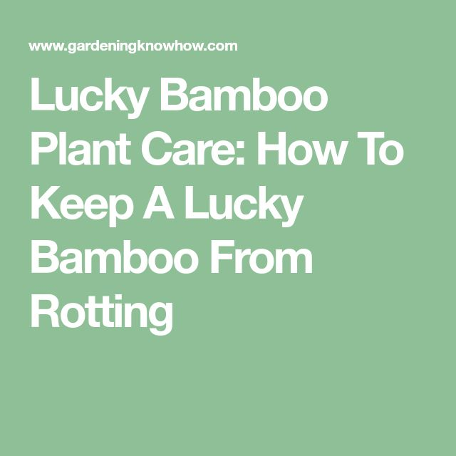 Lucky Bamboo Plant Care: How To Keep A Lucky Bamboo From Rotting