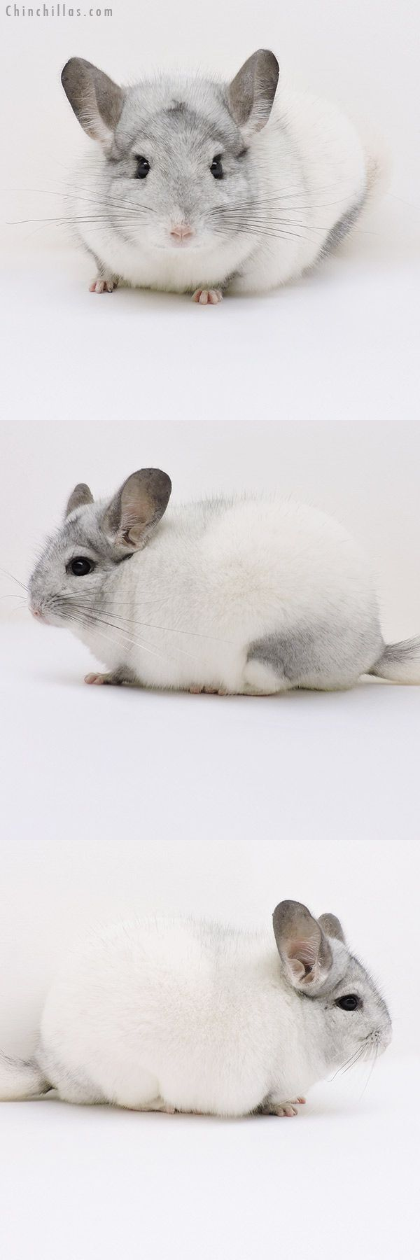 Blocky Show Quality White Mosaic Male Chinchilla