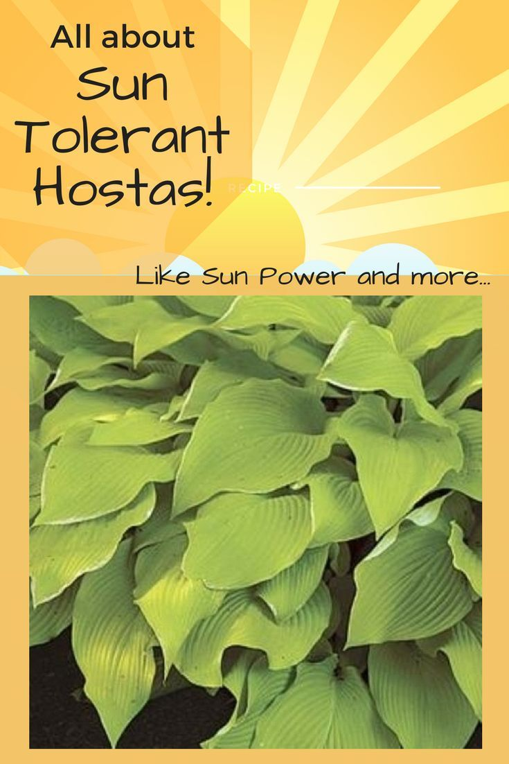 What Are Sun Tolerant Hostas Houseplants Garden Backyard
