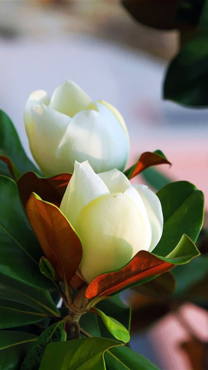 Southern Magnolia blossoms
