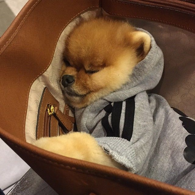 Best Jiffpom Updates Images On Pinterest Baby Animals Dogs - Jiff the pomeranian is easily the best dressed model on instagram