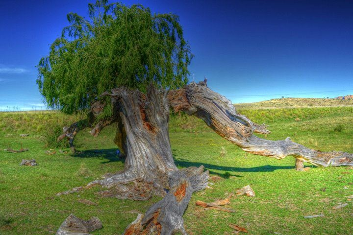 Willow Tree struck by lighting but new life is springing forth by Japie Scholtz. Taken near Rosendal, Free State, South Africa.