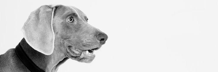 Weimaraner- our dog bleu posing for the camera