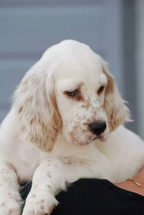 Beautiful English Setter Puppy