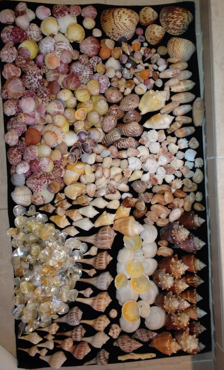 These were shells I picked up on Sanibel Island  in April.  This was over about 4 days,  total time was maybe 5 hours!  Wow, good times.
