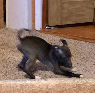 Italian Greyhound puppy for sale in FRANKFORT, IN. ADN-61140 on PuppyFinder.com Gender: Male. Age: 10 Weeks Old
