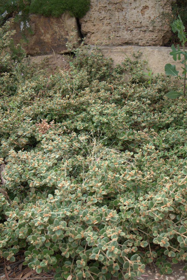 Correa alba (prostrate) White Correa 1.5H x 1.5W
