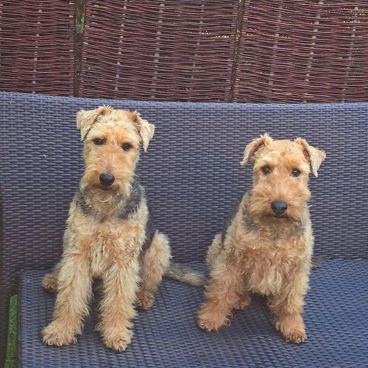 24 besten Welsh Terrier Bilder auf Pinterest | Terrier, Hunde und ...