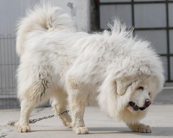 tibetan mastiff snow god 2 molosser dogs gallery tibetan mastiffs pinterest pyrenees. Black Bedroom Furniture Sets. Home Design Ideas