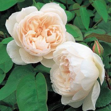 The Generous Gardener - Flora Linnea