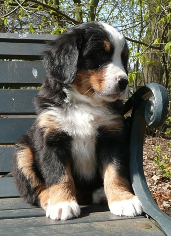 Such a beautiful dog! Berner Sennen