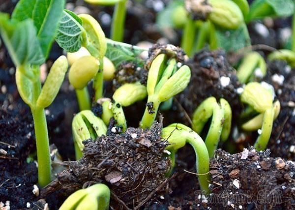 Фасоль – незаменимая овощная культура в рационе любого человека, как диетический продукт, так и для полноценного восполнения белка и энергии людям занимающимся спортом или тяжелым трудом.Чтобы выраст...
