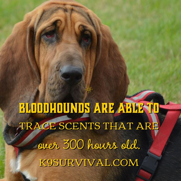 Bloodhounds are able to trace scents that are over 300 hours old.