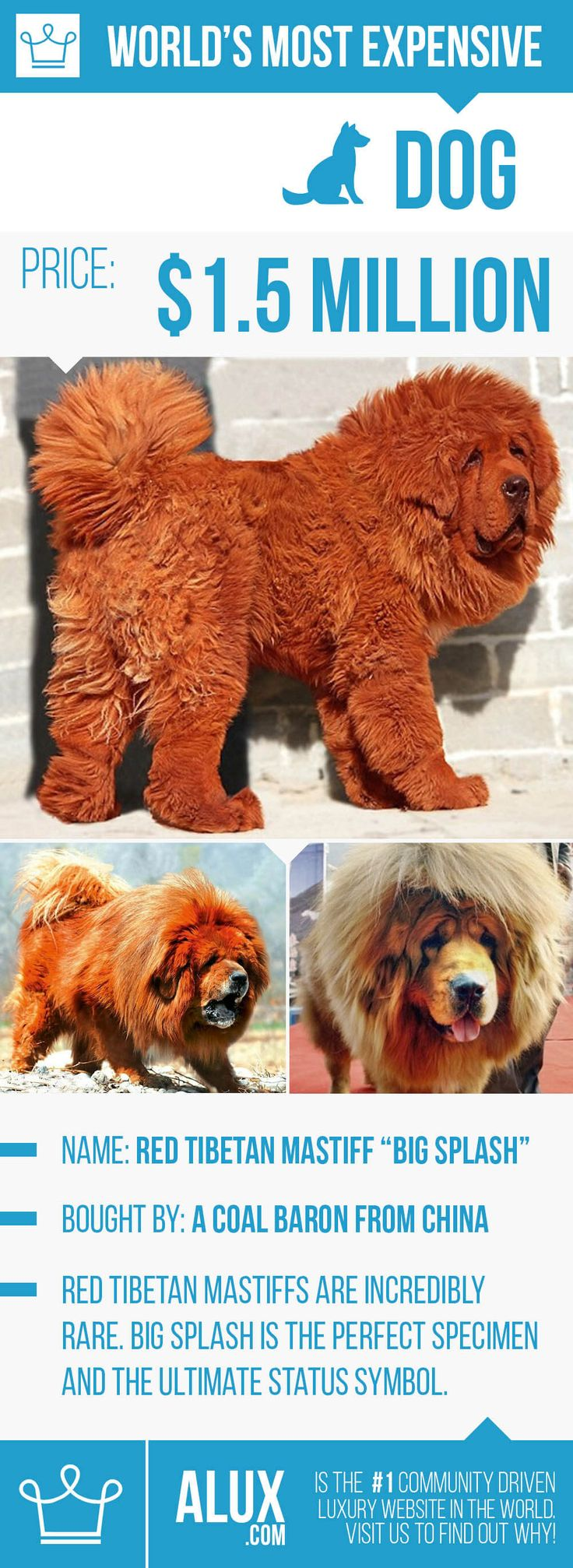 most expensive dog in the world ealuxe alux red tibetan mastiff price how much pictures infographic. Too much hair