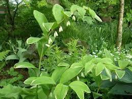polygonatum falcatum 'variegatum' - Google Search