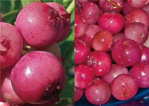 Blueberry 'Pink Lemonade': the first pink-fruited blueberry (click to enlarge)