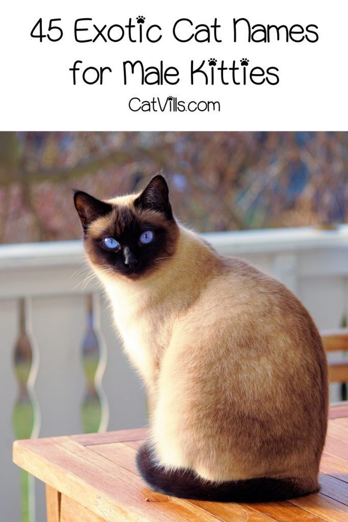 Pin On Exotic Cat Lovers And Owners