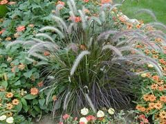 Purple fountain grass for a planter?