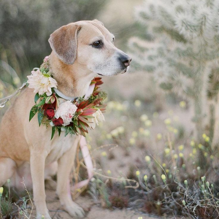 Will your pet be a guest in your wedding?👰🏼🌸🐶🐴🐱🐰💕 #Repost @gregfinck ・・・ Moxie posing in her flowers collar in Joshua Tree National Park! Scan by @richardphotolab #weddingpet #weddingdog #wedding #weddingday #weddinglove #bryllup #brudeblogg #bryllupsblomster #hund #bryllupshund #instalike #inspiration