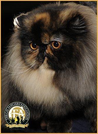 Particolor Persian Photos, Top Cats 2011-12 - GC, BW, DW Settimocielo Raggio Di Luna - Tortoiseshell Female